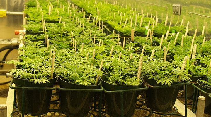 L'Artemisia Annua: la pianta che cura la Malaria