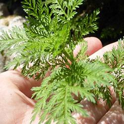 Artemisia Annua piantina