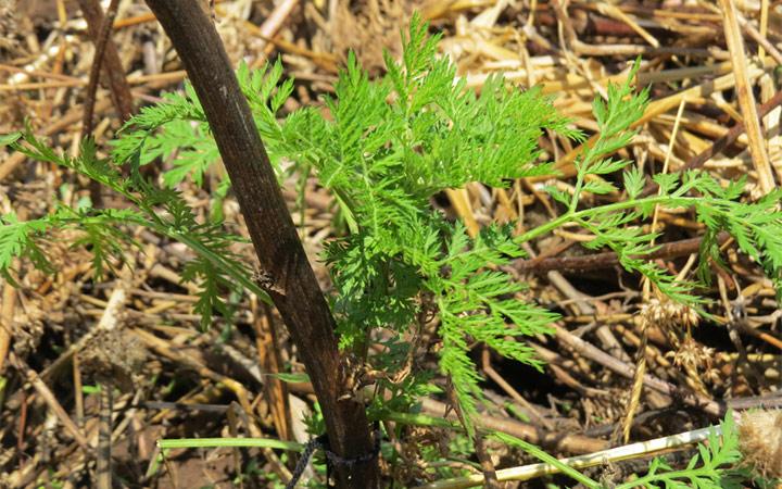 artemisia annua coltivazione
