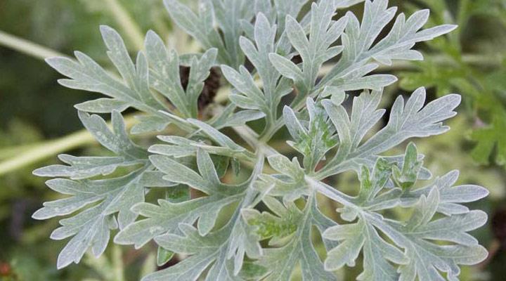 Artemisia Absinthium (assenzio): Proprietà, utilizzi e dove comprarlo