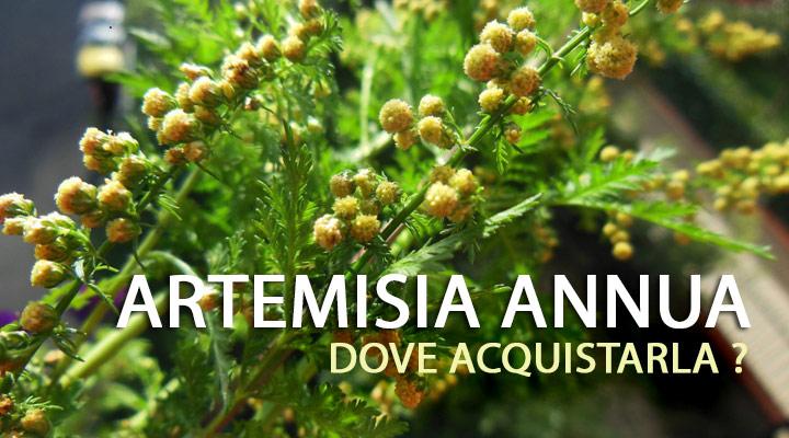 Artemisia Annua dove comprarla