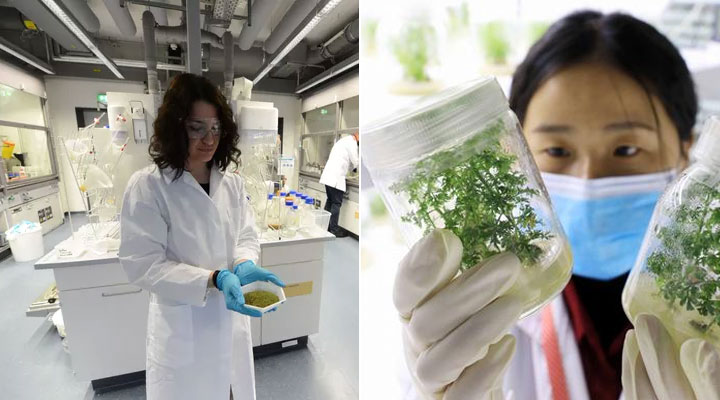 Covid-19: From the Max Planck Institute promising results of the efficacy of Artemisia annua on the virus