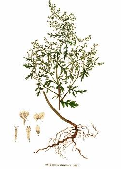 Contraindications Artemisia annua