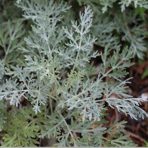 absinthe leaves