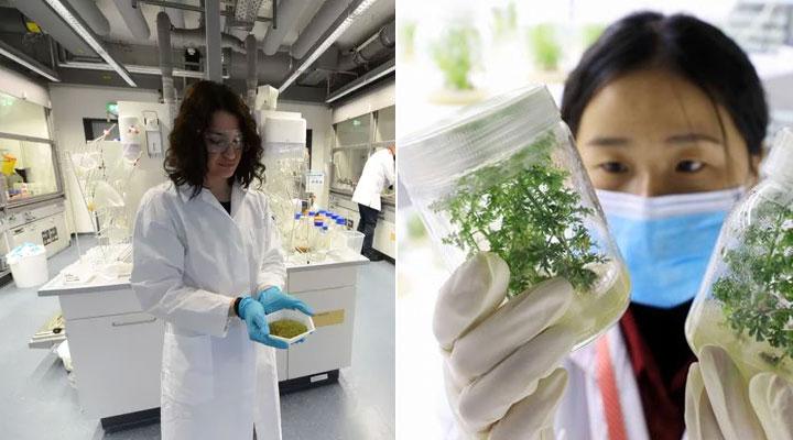 Covid-19: Dall'istituto Max Planck risultati promettenti dell'efficacia dell'Artemisia annua sul virus