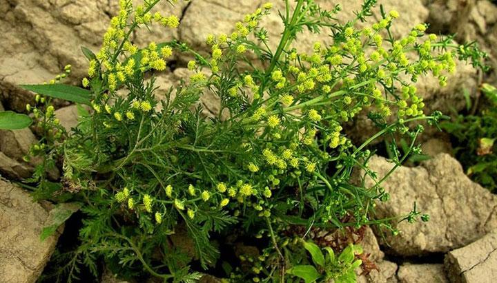 artemisia annua botánica