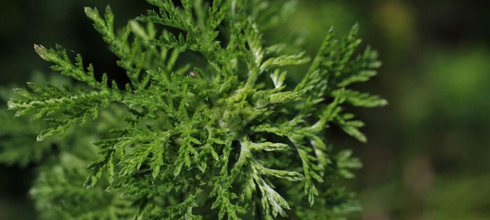 Artemisia Annua botanische Beschreibung